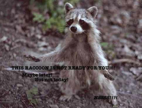 This raccoon is not ready for you!!! Maybe later! But not today! HSSSS!!